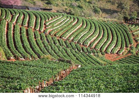 Stawberry Plantation Farm Field In Angkhang Chiangmai Northern Of Thailand Agricultural Field