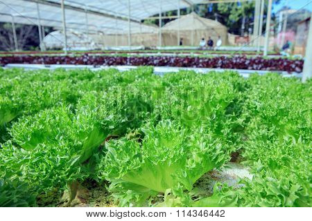 Close Up Filey Iceberg Lettuce Hydroponic Vegetables In Agricultural Organic Green House