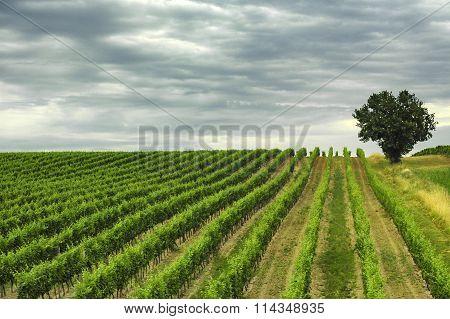 Vineyard In Gironde (aquitaine)