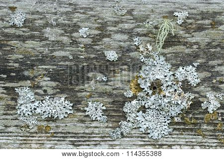 Closeup background texture photo of rustic weathered barn wood full of lichen and moss