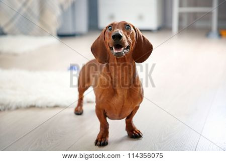 Dachshund dog playing in living room