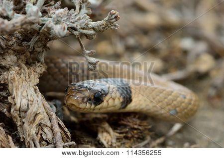 Collared dwarf snake (Eirenis collaris) looking round shrub