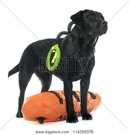 Rescue Labrador Retriever