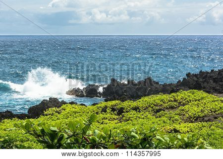 Succulent plants along Maui coast, Hawaii