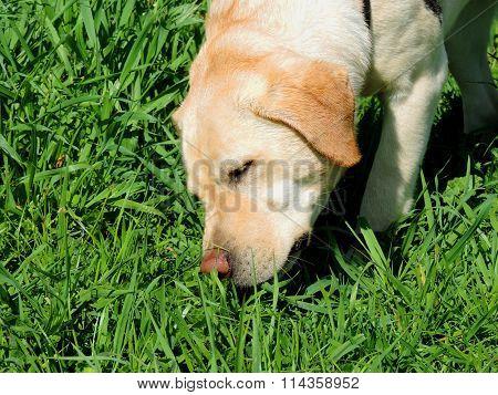 Labrador Golden Retriever sniffs a grass.