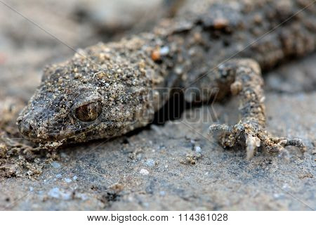 Camouflaged gecko on stone