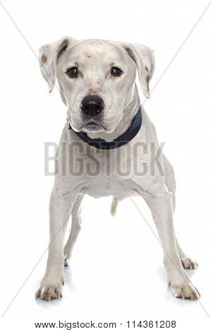 Old American Staffordshire Terrier