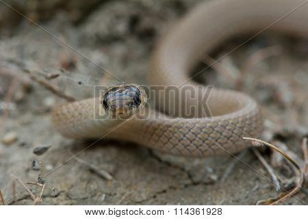 Collared dwarf snake (Eirenis collaris)