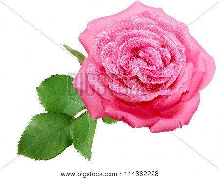 Single fresh pink rose covered by water drops