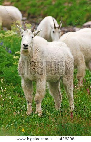 Mountain Goats Grazing