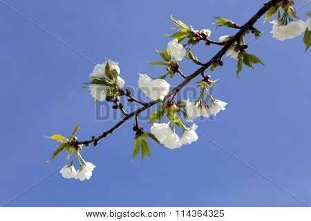 White cherry blossom isolated on blue sky