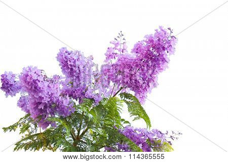 Lavender Blue  jacarandas flower isolated on white