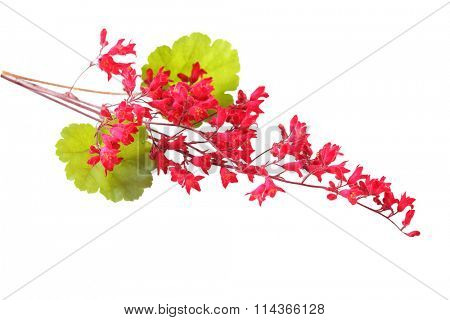 Heuchera Rosada coral bells flower isolated on white