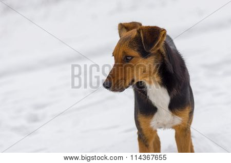 Outdoor portrait of stray three colored dog at winter season
