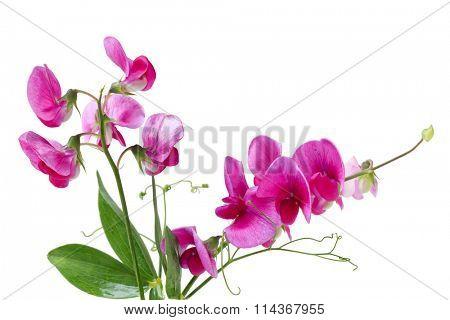 Marsh Vetchling (Marsh Pea), Lathyrus palustris  wild flowers