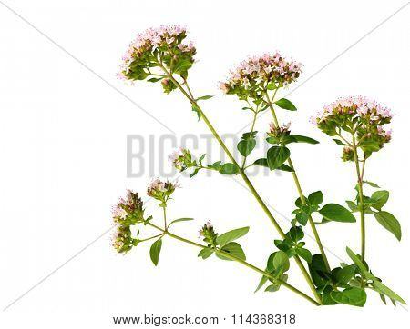 Wild Marjoram Origanum vulgare flower plant isolated on white