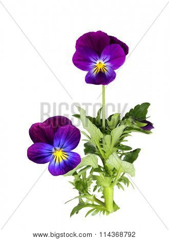 Purple pansy flower plant isolated on white