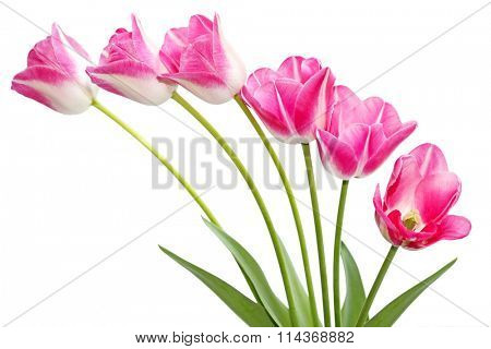 Fresh pink tulip flowers isolated on white