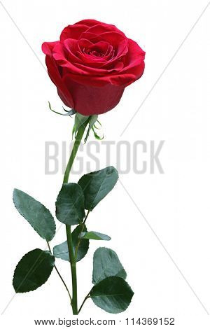 Single red rose with leaves isolated on white