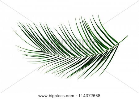 Fresh green palm leaf isolated on white background