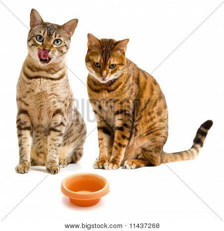 Pair Of Bengal Cats One Licking Lips