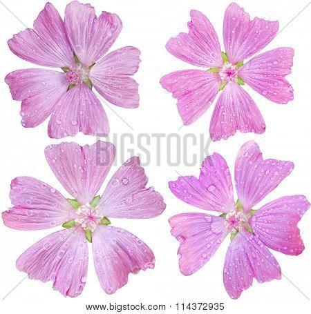 Set of single head flower of Pink Malva Moschata Musk-Mallow