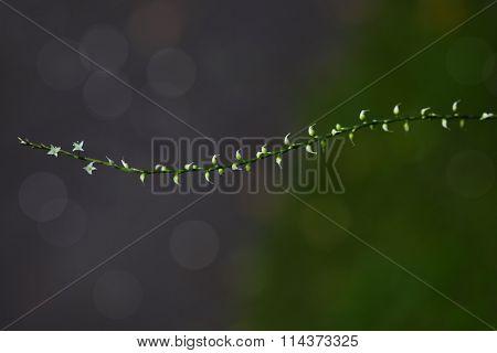 Jumpseed (Virginia Knotweed) Polygonum virginianum  (Tovara virginiana, Persicaria virginiana) wild flower
