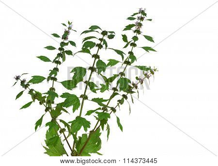 Motherwort (Leonurus cardiaca)  wild flower plant isolated on white