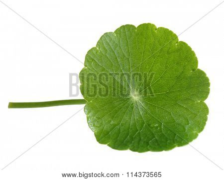 Fresh Penny Wort leaf isolated on white background
