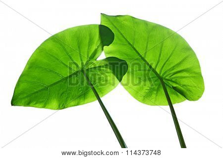 Translucent Taro elephant ear leaves in spring time