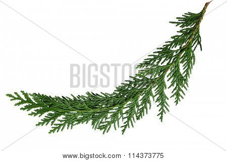 Evergreen cedar cypress pine leaf isolated on white