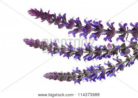Salvia pratensis meadow clary ( meadow sage) isolated on white background