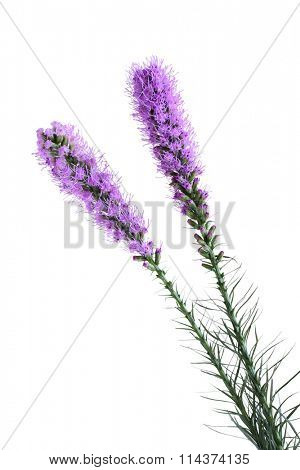 Purple Blooms of the Liatris spicata or Gay Feather Flower isolated on white