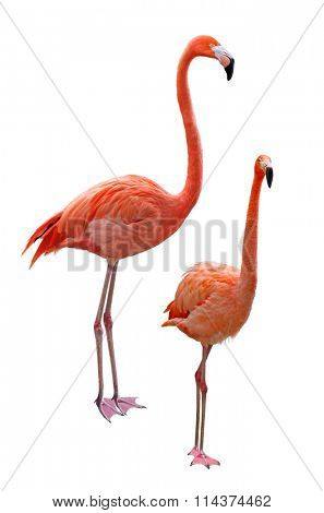 Phoenicopterus flamingo birds isolated on white background
