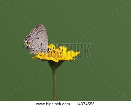 Euchrysops Cnejus Gram Blue Butterfly on yellow Wedelia Flower