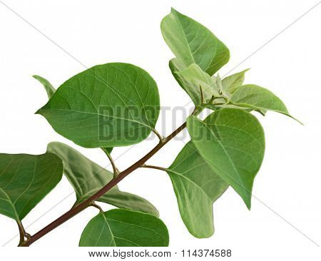 Bougainvillea Glabra Leaf on branch isolated on white background