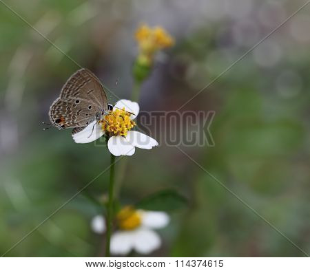 Gram Blue Euchrysops Cnejus butterly on white Wedelia Sphyagneticola Trilobata Flower