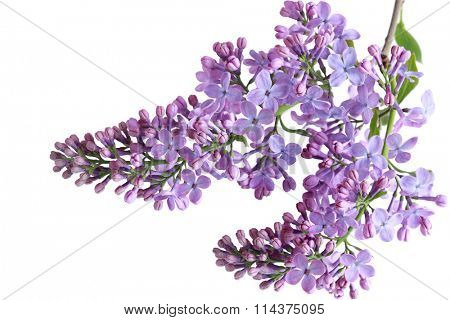 Lilac flowers twig isolated on white background