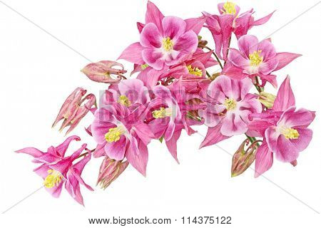 Aquilegia  Granny's Bonnet or Columbine flower isolated on white background