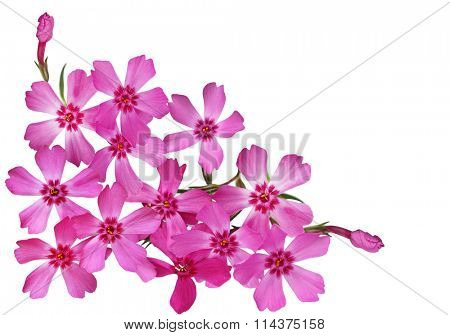 Bundle of Moss Phlox Flower isolated on white background