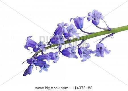 Single Hyacinthoides non-scripta bluebell flower isolated on white background