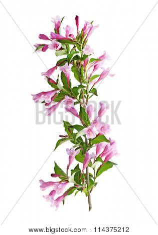 Weigela flower blooming on branch isolated on white background