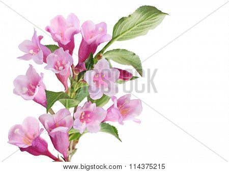 Cluster of pink weigela flower isolated on white background