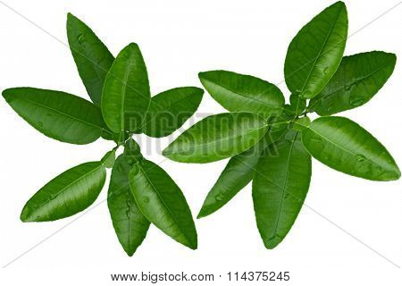 Branch of citrus leaves isolated on white background