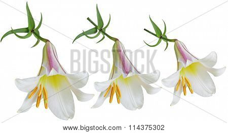 Three Lilium lilies flowers isolated on white background