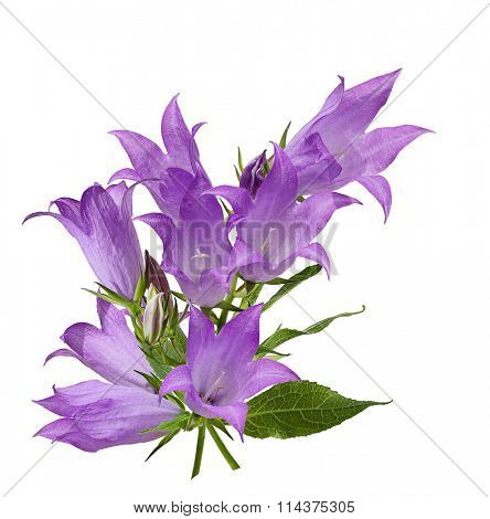 Canterbury Bells Campanula medium flower isolated on white background