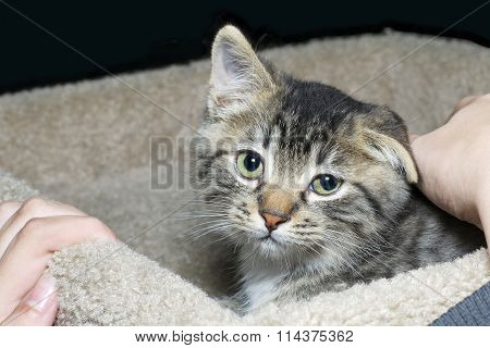 tiny brown and tan and white medium haired tabby kitten being pet by young hands