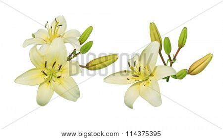 Light yellow lily flower cluster isolated on white background