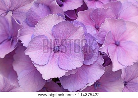 Fresh pink hortensia flower for natural background