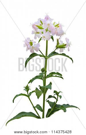 Pink and White Saponaria officinalis (Bouncing Bet) wild flower isolated over background